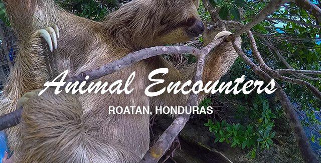 Amazing Animal Encounter with a Wild Three-Toed Sloth (Roatan, Honduras)