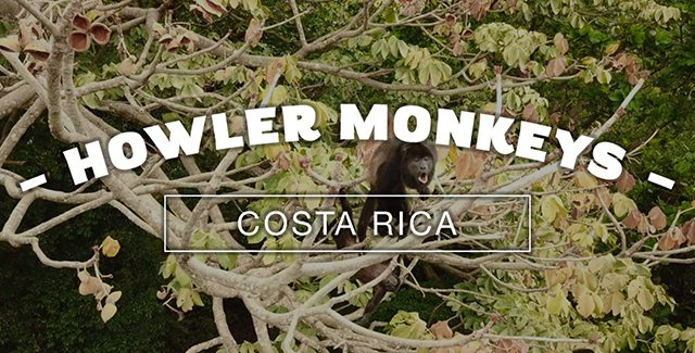 A Troop of Black Howler Monkeys in the Guanacaste Province of Costa Rica